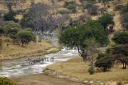 Zebras im Tarangire-Fluss. Tarangire NP