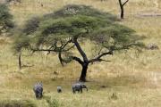 Elefanten bei einer Schirmakazie. Tarangire NP