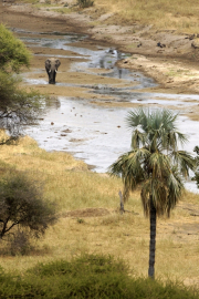 Elefant im Tarangire-Fluss. Tarangire Safari Lodge. Tarangire NP