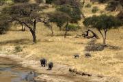 Elefanten am Tarangire-Fluss. Tarangire Safari Lodge. Tarangire NP