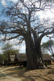 Baobab inmitten der Tarangire Safari Lodge, Tarangire NP