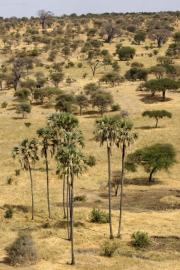 Borassuspalmen (borassus). Tarangire Safari Lodge, Tarangire NP