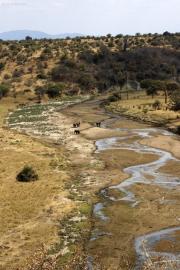 Elefanten am Tarangire-Fluss. Tarangire Safari Lodge, Tarangire NP