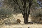 Löwe unter einer Akakzie. Tarangire NP