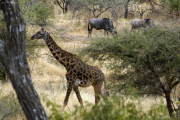 Massai-Giraffe (giraffa camelopardalis tippelskirchi). Tarangire NP