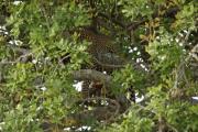 Leopard (panthera pardus) versteckt in einem Feigenbaum. Tarangire NP