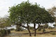 Feigenbaum, wo ist der Leopard? Tarangire NP