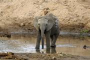 Junger Afrikanischer Elefant mit seltsamen Geschwür am Rücken. Tarangire NP