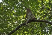 Javaneraffe (Macaca fascicularis). Erawan Natinalpark. Bei Kanchanaburi