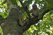 Junge Javaneraffen (Macaca fascicularis). Erawan Natinalpark. Bei Kanchanaburi
