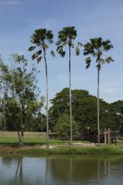 Palmen. Ayutthaya