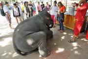 Baby Elefant (Elephas maximus indicus). Elephant Kraal Pavillion, Ayutthaya