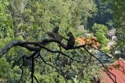 Javaneraffen (Macaca fascicularis). Tigerhöhlen-Tempel (Wat Tham Suea). Krabi