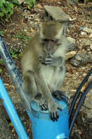Javaneraffe (Macaca fascicularis). Tigerhöhlen-Tempel (Wat Tham Suea). Krabi