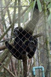 Gibbon im Gibbon Rehabilitation Project, Phuket. -> http://www.gibbonproject.org/