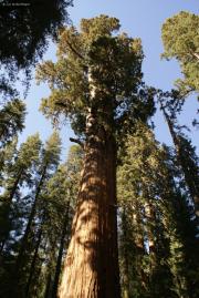 General Sherman Tree, Sequoia National Park, CA