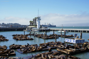 Sea Lions of Pier 39, San Francisco, CA