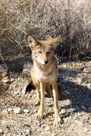 Koyote, Emigrant Pass, Death Valley NP, CA