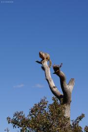 Ziesel mit Überblick, Grand Canyon, South Rim, AZ