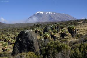 Der Kibo (5895m). Riesen-Senecien. Kilimanjaro NP. Marangu-Route, Tag 4